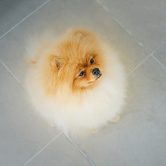 Adult Orange Pomeranian Spitz