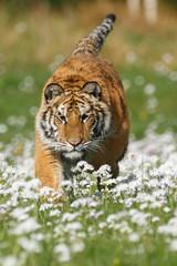 Tiger in Blumen
