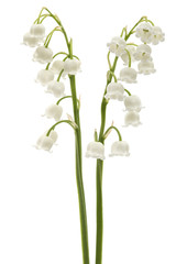 Foto op Textielframe Lelietje van dalen White flower of lily of the valley, lat. Convallaria majalis, isolated on white