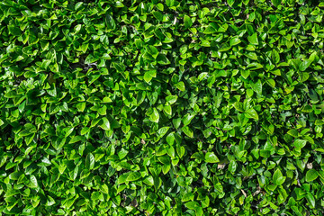 Natural green leaves wall background