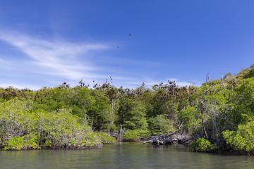 Sleeping fruit bats in Mangroves near Riung, Indonesia.