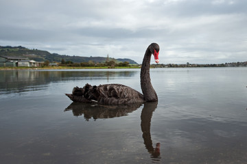 black swan, cygnus atratus, New Zealand