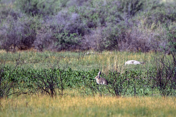 Enormous White-tailed Jackrabbit, aka Prairie Jack, has extremely big ears, as shown in Alamosa National Wildlife Refuge in southern Arizona