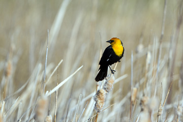 Male Yellow-headed Blackbird perches on a cattail in spring at Alamosa National Wildlife Refuge in southern Colorado