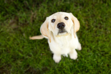 lab puppy in grass looking up