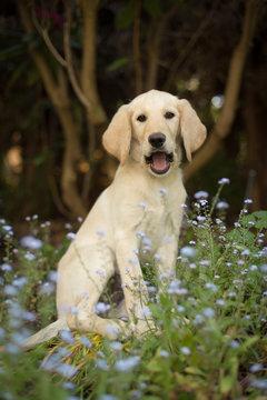 Funny yellow lab puppy in garden