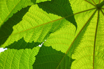 Close up green leaves abstract backgrounds ,shallow DOF