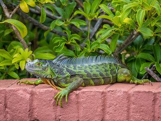 Iguana laying on the brick wall