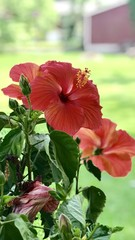 Red hibiscus plant in spring and summer