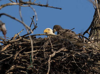 Blad Eagle mother and eaglet