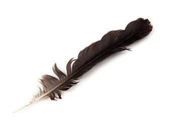 black feather bird on white background