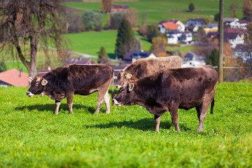 cows in a grassy field