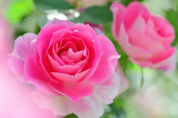 Spoed Foto op Canvas Roze バラの花