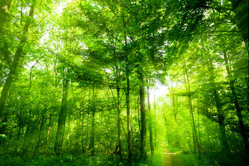 beautiful green forest.  forest with sunshine