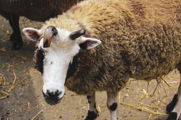 A Farm Sheep