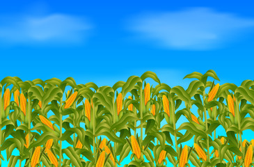 Green corn field growing up on blue sky