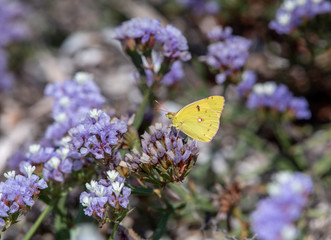 Clouded Yellow butterfly (Colias croceus),  collecting nectar on pink wild flower