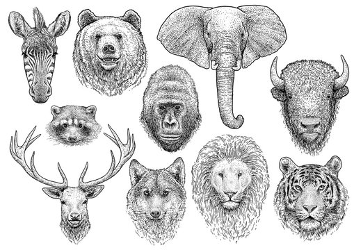 Animal head collection illustration, drawing, engraving, ink, line art, vector