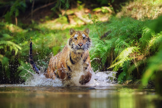 Siberian tiger running in the river. Tiger with hsplashing water