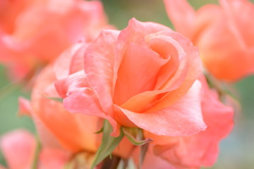 Beautiful roses blooming in early summer