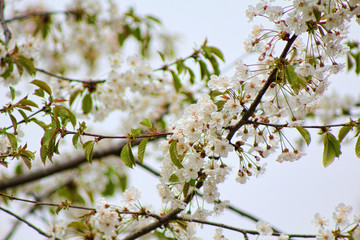 Blooming branches of plum tree in a spring garden selective focus