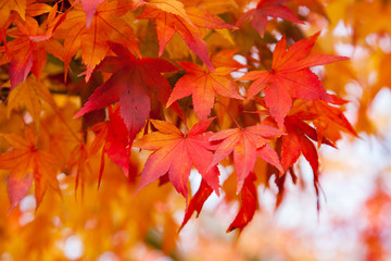 Red and Orange Autumn Fall Leaves in Lithgow New South Wales on 15th May 2015