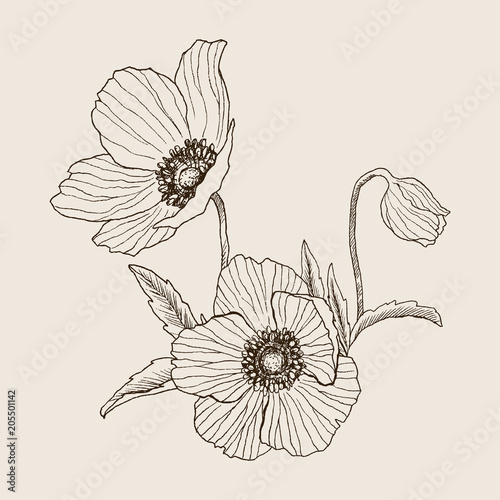Anemone flower vector drawing bouquet. Isolated wild plant
