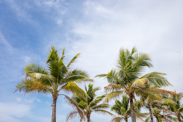 Coconut or palm tree with blue sky and clouds on the background.