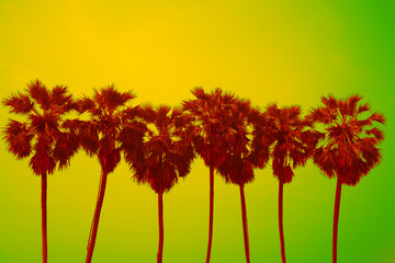 Silhouette of sugar palm trees - Tropical summer holiday