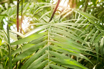 Green background of Tropical palm leaves
