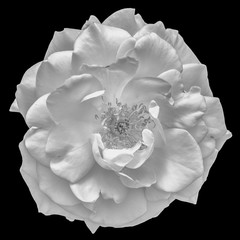 Fine art still life monochrome flower top view macro photo of a wide open blooming white rose blossom with detailed texture on black background