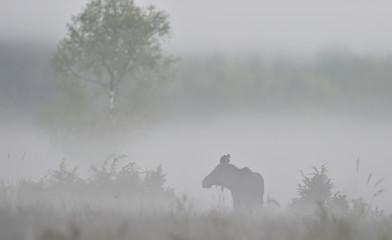 Moose in the mist. Eurasian elk at the misty morning.