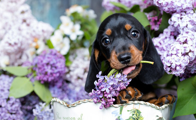 portrait of a beautiful puppy breed of dachshund Wall mural
