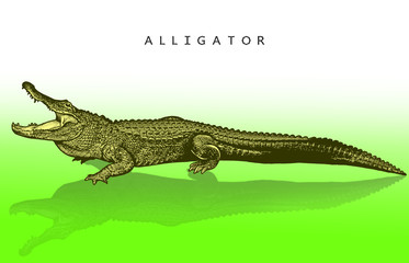 American alligator - illustration in engraving style. A bright image of a crocodile reptile, a crocodile with an open mouth, a side view.