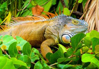 Iguana in nature habitat (Latin - Iguana iguana). Close-up image of large herbivorous lizard sitting on a tropical jungle tree with green leafs in the Fort Lauderdale area, Florida, USA.