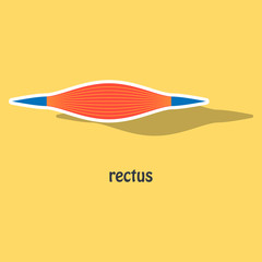 Sticker Rectus - didactic board of anatomy of muscular system