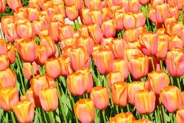 A Tulip Army
