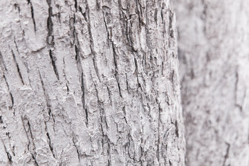 White wood texture can use as natural background. The trunk of the tree is painted white.