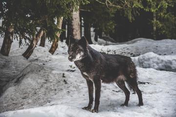 Photo sur Plexiglas Loup loup noir en hiver - Omega
