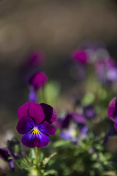 Violets on a gray background
