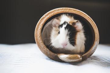 Bébé cochon d'Inde tricolore