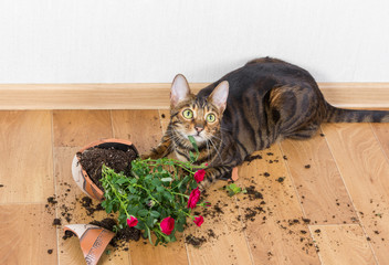 Domestic cat breed toyger dropped and broke flower pot with red roses and looks guilty.