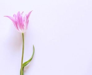 Styled stock photo. Spring feminine scene, floral composition Beautiful pink tulip on white background. Flat lay, top view.Empty space for your text.