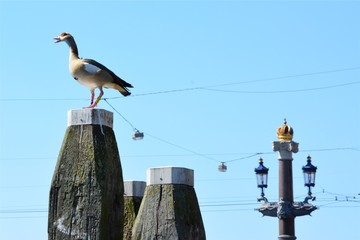 An Amsterdam Goose