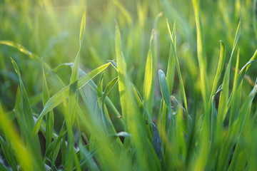 Abstract, green grass background.