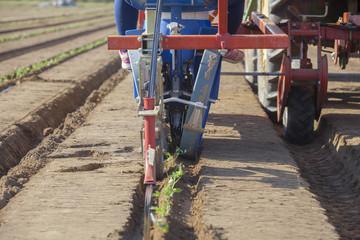 Tomato transplanter machine inserting seedlings on earth