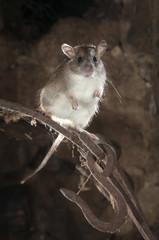 Black rat or field rat Portrait in an old haystack, Rattus rattus, Spain