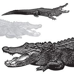 American alligator (Alligator mississippiensis) - vector graphic illustration.