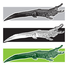 American alligator. Florida gators.