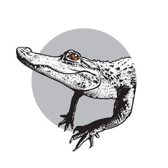 Portrait of young American alligator - vector graphic illustration. Black image of crocodilian reptile in engraving style isolated on white background, design element for logo or template.